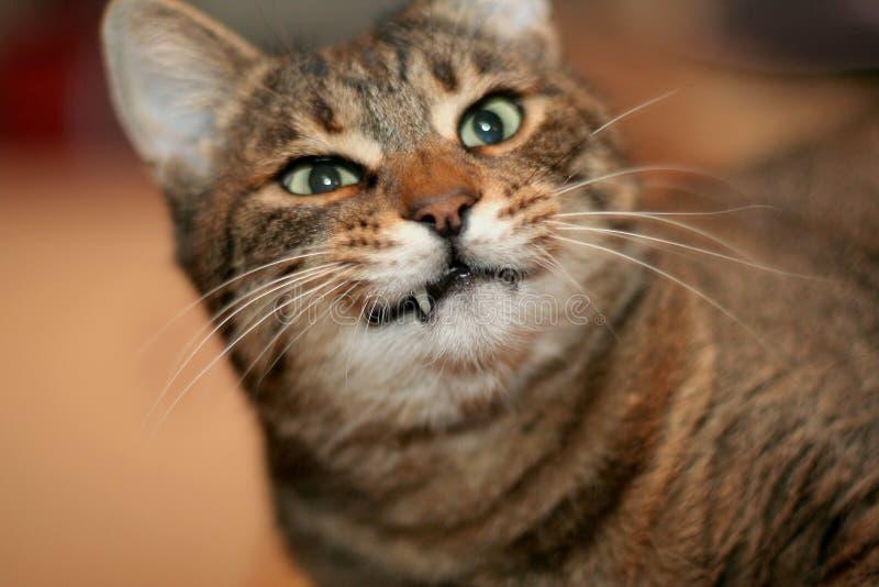 Denti del gatto fotografia stock immagine di cute - Immagine del gatto a colori ...