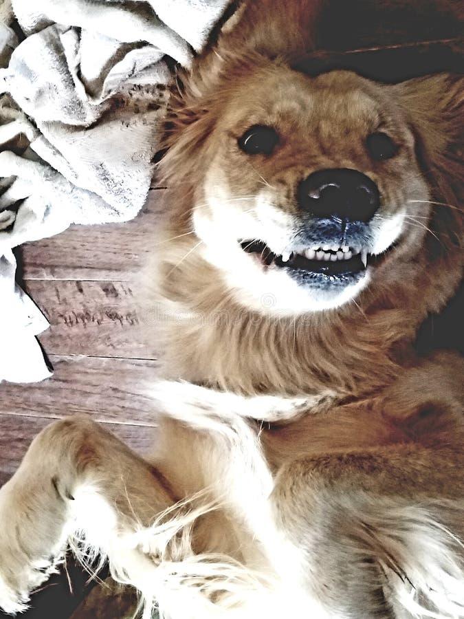 Denti di golden retriever fotografia stock libera da diritti