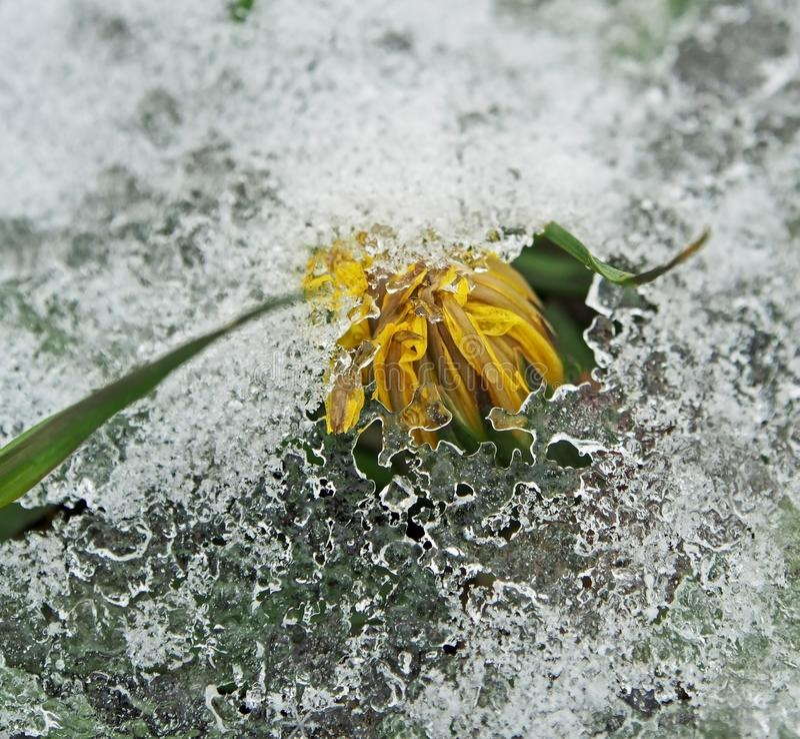 Denti di leone di fioritura coperti di neve e di ghiaccio immagine stock
