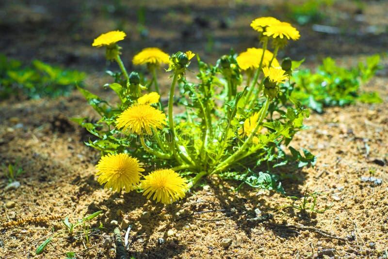 Denti di leone gialli Denti di leone luminosi dei fiori su fondo dei prati verdi della molla fotografia stock libera da diritti