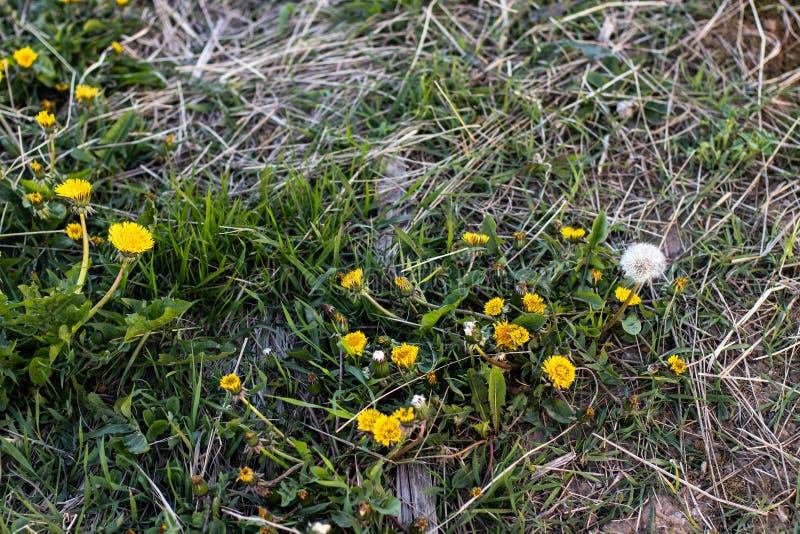Denti di leone gialli nell'erba fotografie stock libere da diritti