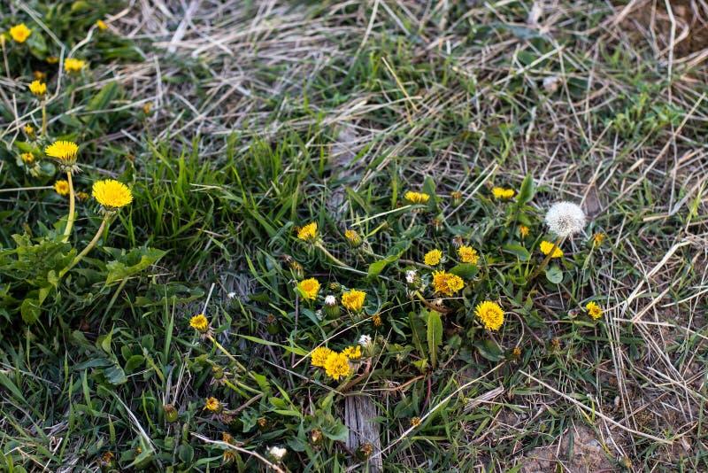Denti di leone gialli nell'erba fotografie stock