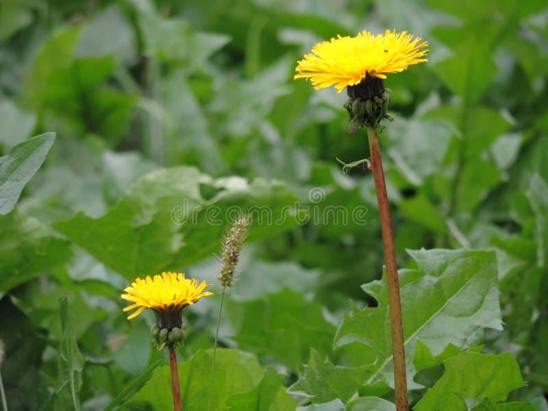 Denti di leone gialli sul prato verde della molla fotografie stock libere da diritti