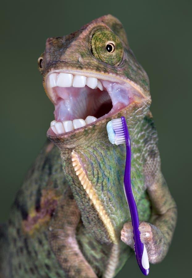 Denti di spazzolatura del Chameleon immagine stock libera da diritti