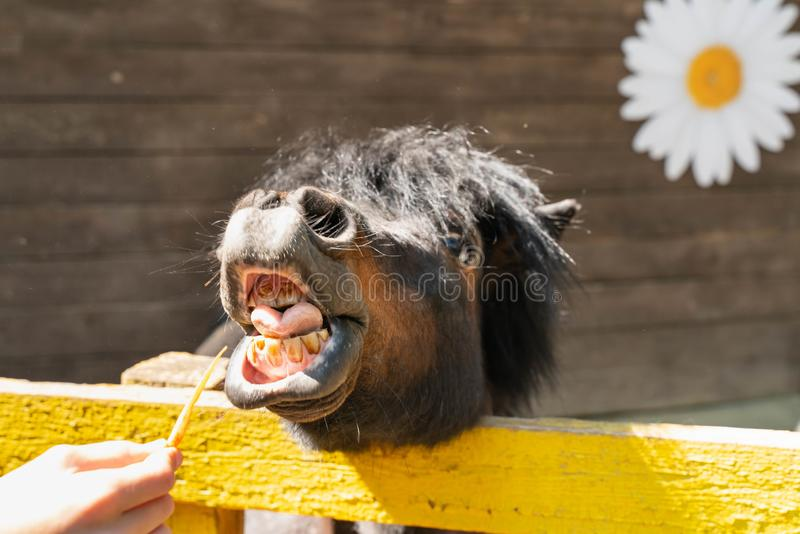 denti divertenti di sorriso e di manifestazione del cavallino Mangi le carote fotografia stock libera da diritti