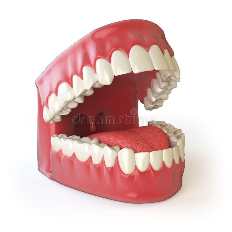 Denti o protesi dentarie su bianco Apra superiore e più basso umani illustrazione vettoriale