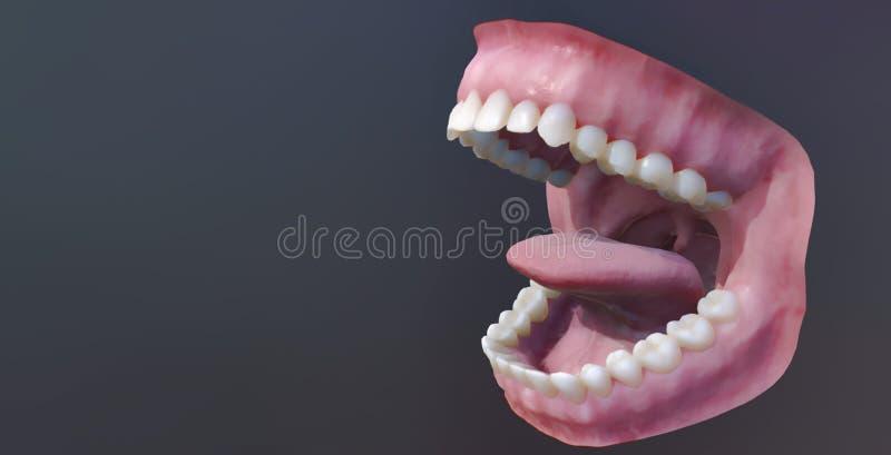 Denti umani, bocca aperta Illustrazione medicamente accurata del dente 3D illustrazione vettoriale