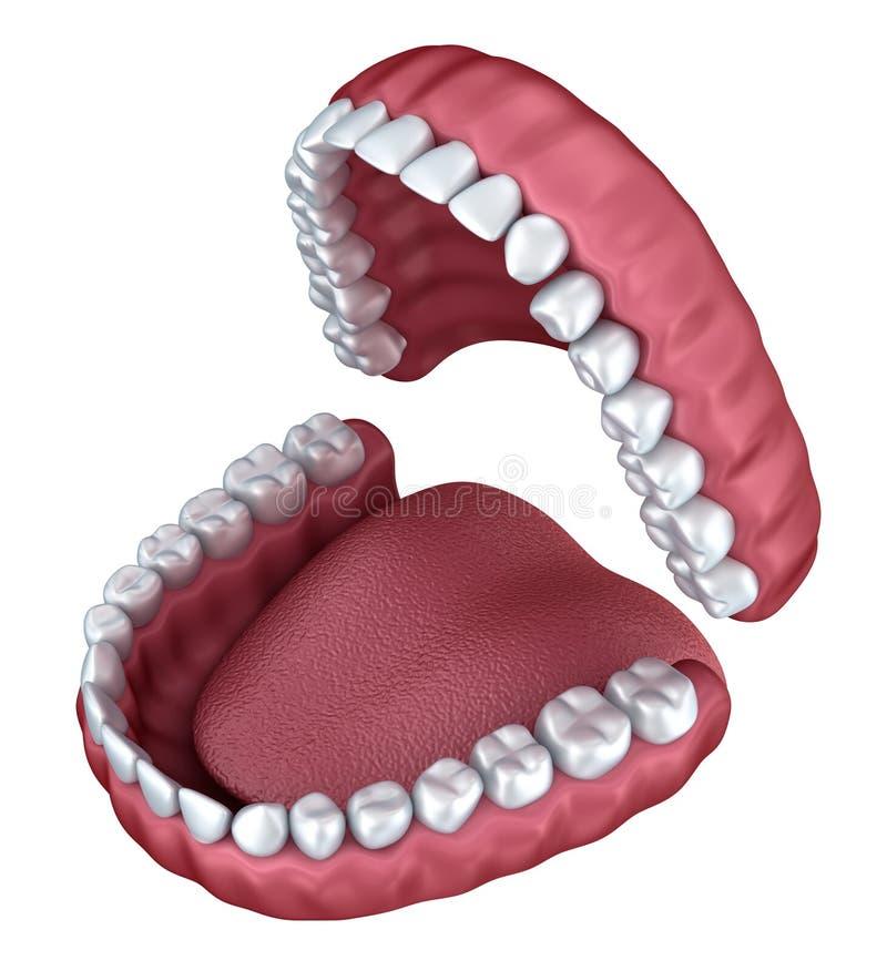 Dentier ouvert d'isolement illustration libre de droits