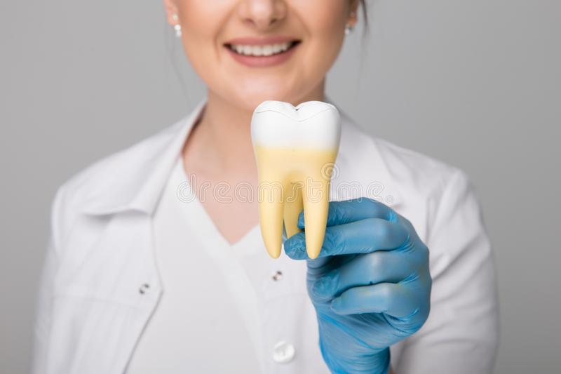 Tooth model for education in laboratory. Dentist holds in his hand tooth model for education in laboratory royalty free stock photos