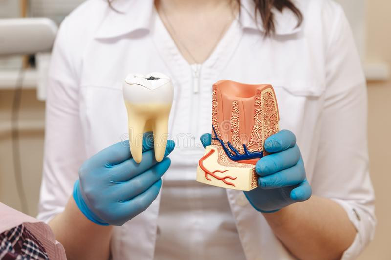 Tooth model for education in laboratory. Dentist holds in his hand tooth model for education in laboratory royalty free stock photo