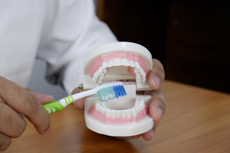 Dentist using toothbrush on teeth model in dental office/ professional dental clinic, dental and medical concept stock images