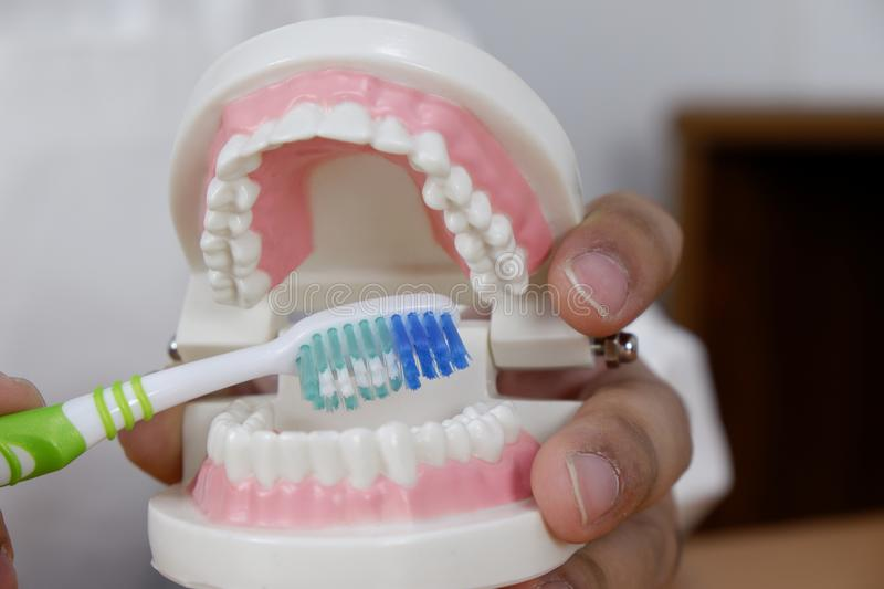 Dentist using toothbrush on teeth model in dental office/ professional dental clinic, dental and medical concept stock photo