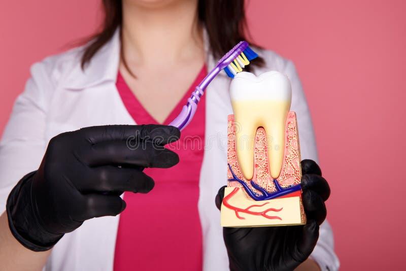 Dentista della donna con i guanti che mostrano su un modello della mandibola come pulire correttamente i denti con lo spazzolino  fotografia stock