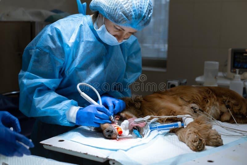 Dentista veterinario de la mujer que hace el procedimiento de los dientes profesionales que limpian el perro en una cl?nica veter fotografía de archivo libre de regalías