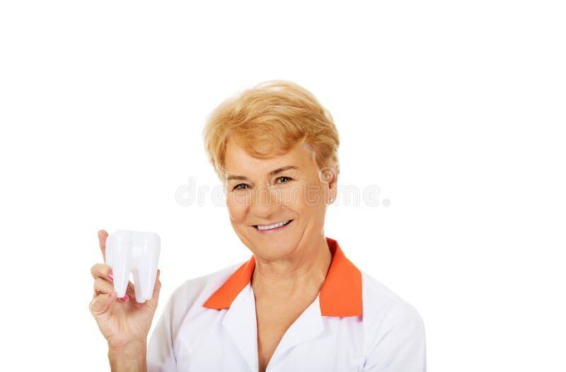 Dentiste féminin plus âgé de sourire tenant le grand modèle de dent images stock