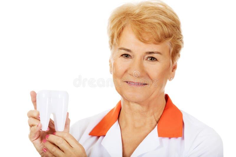 Dentiste féminin plus âgé de sourire tenant le grand modèle de dent photographie stock