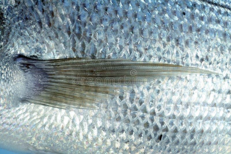 Denton, pesce mediterraneo di sparus fotografia stock libera da diritti