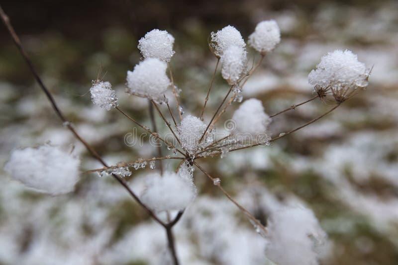 Dentro da neve Umbel imagens de stock royalty free