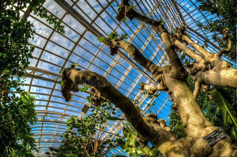 Dentro de Majorie McNeely Conservatory, en los jardines del parque de Como, una higuera común crece dentro imagenes de archivo