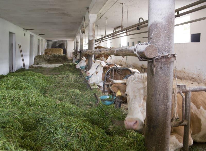 Dentro di un granaio di mucca fotografia stock libera da diritti