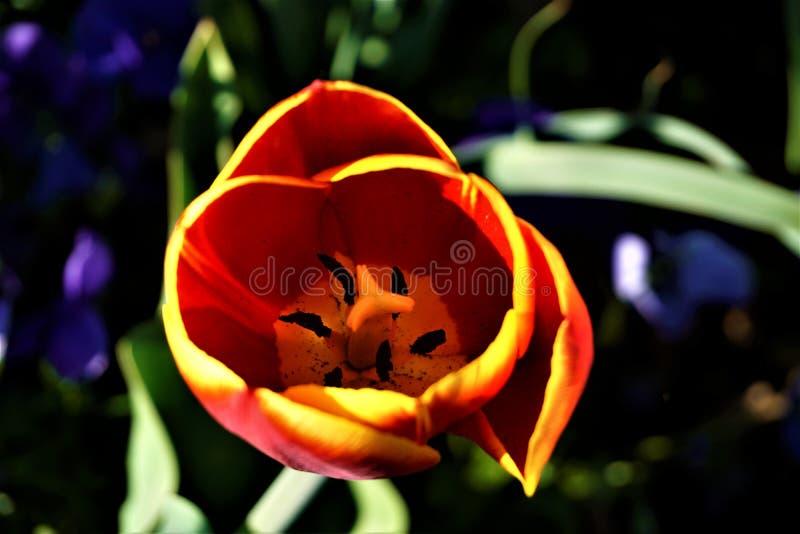 Dentro di un tulipano giallo e rosso con resistenza nera fotografia stock libera da diritti