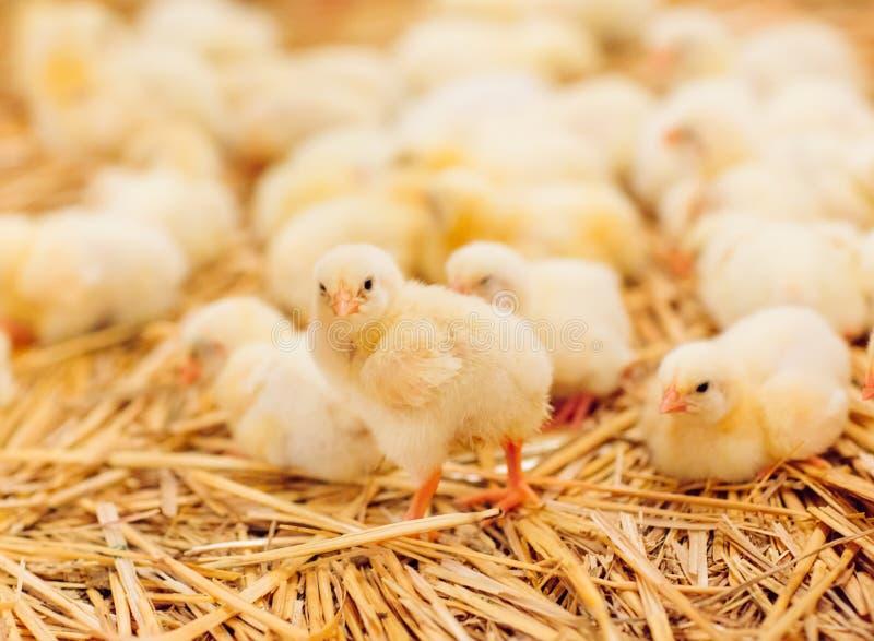 Dentro granja de pollo, pollo que alimenta, granja para los pollos tomateros crecientes fotografía de archivo