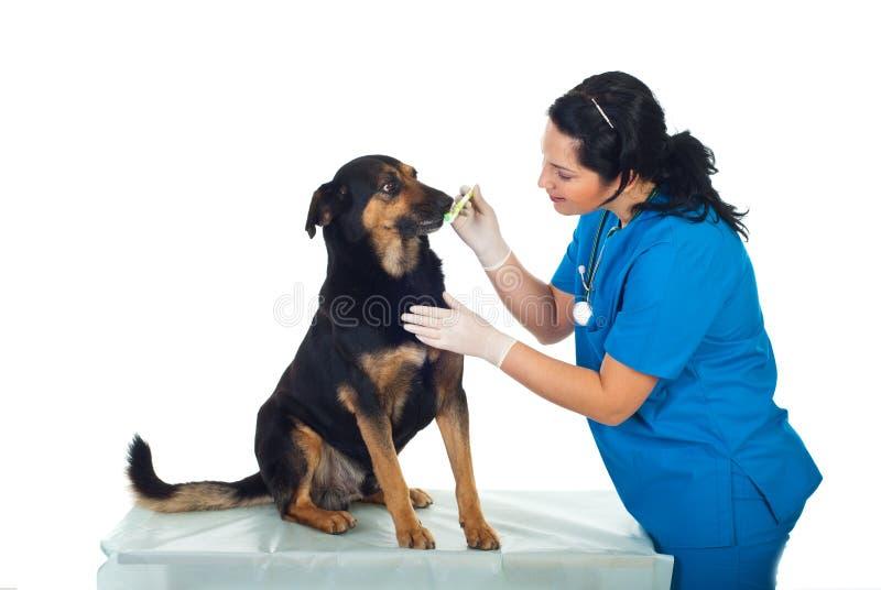 Dents de crabot de brossage de vétérinaire photo libre de droits