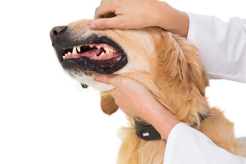 Dents de examen de vétérinaire d'un chien mignon photo libre de droits
