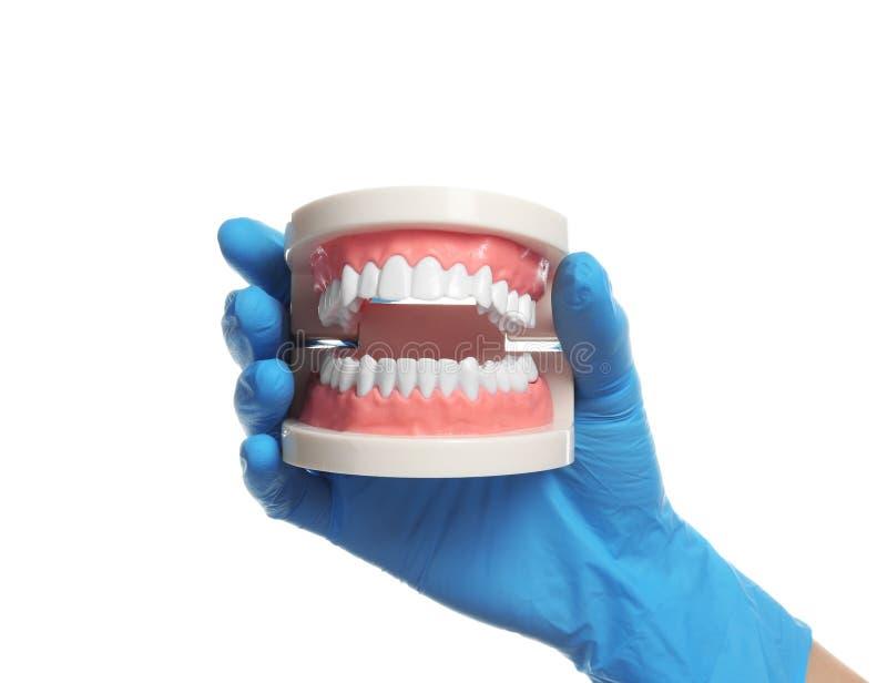 Dentysta trzyma edukacyjnego modela oralny zagłębienie z zębami zdjęcie stock
