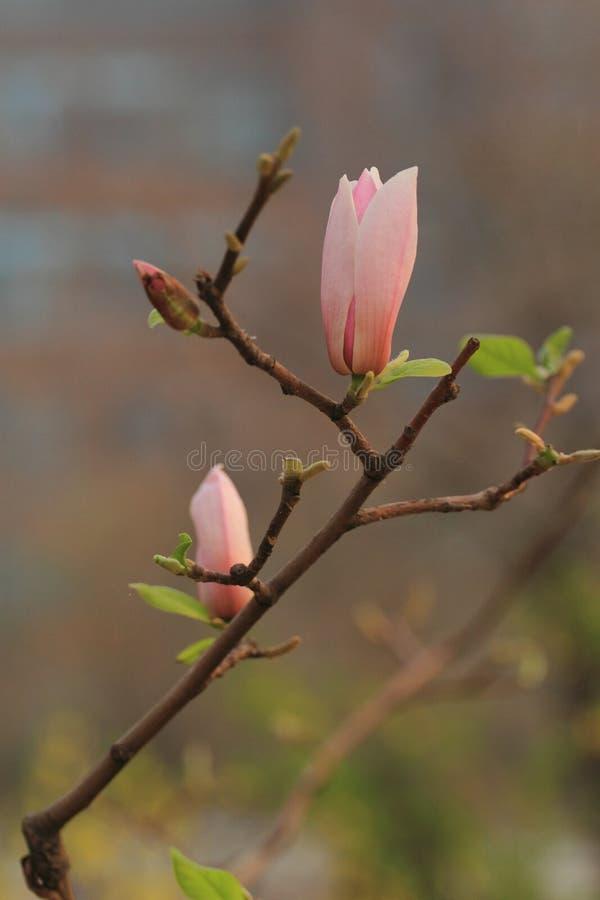 Denudata de magnolia image stock