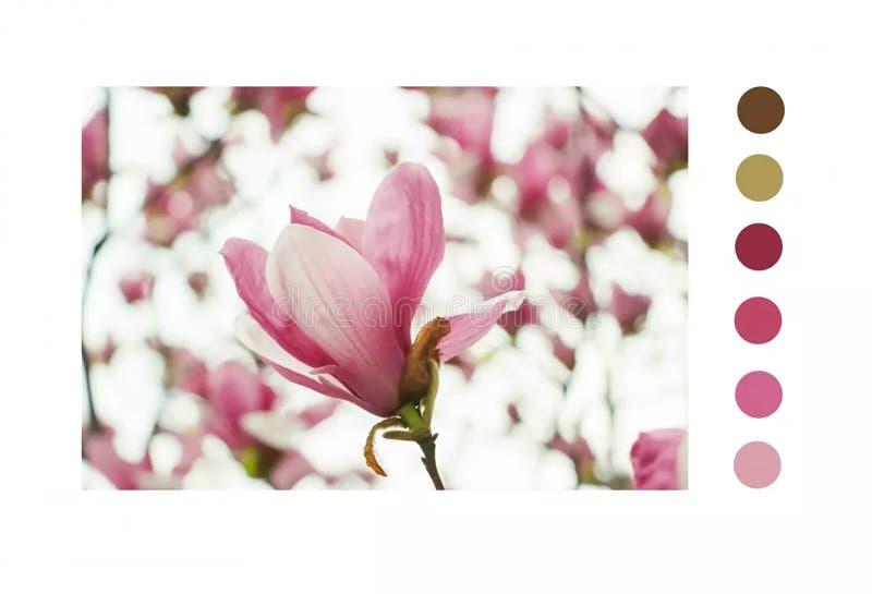 Denudata Desr de magnolia image libre de droits