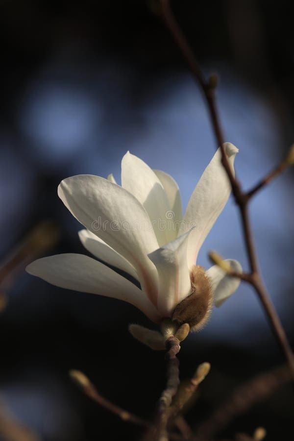 ? ? denudata? ?Magnolia ? Magnolia? стоковое фото rf