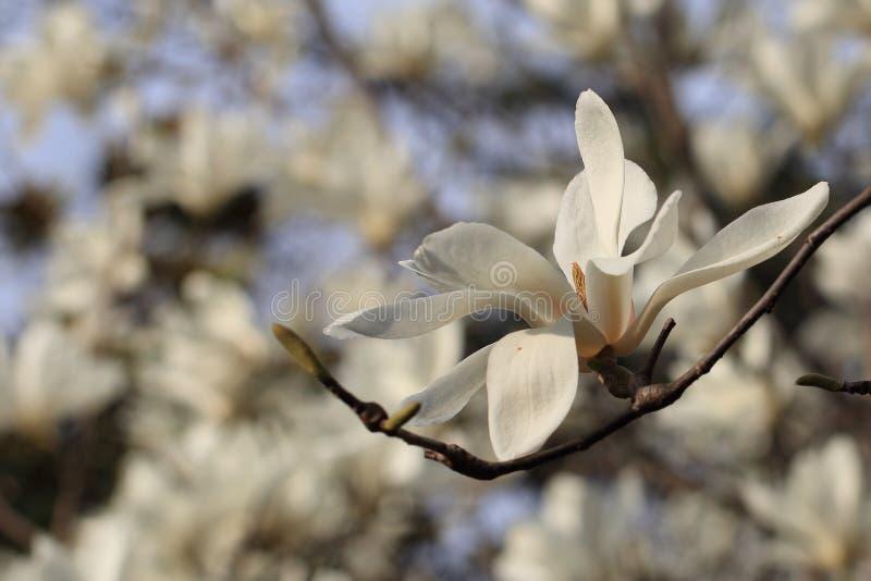? ? denudata? ?Magnolia ? Magnolia? стоковые изображения