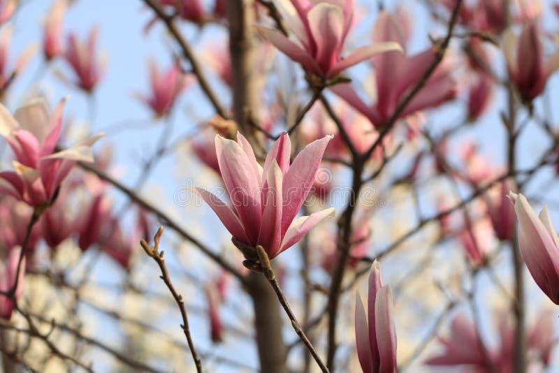 ? ? denudata? ?Magnolia ? Magnolia? стоковые изображения rf