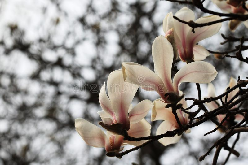 Denudata MagnoliaMagnolia στοκ φωτογραφίες με δικαίωμα ελεύθερης χρήσης