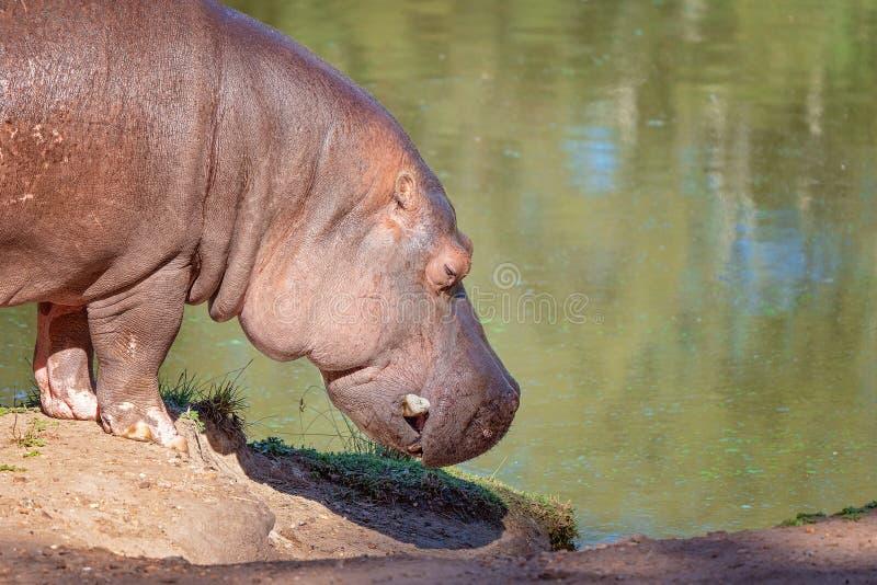 Denvatten- flodhästen som går för en dypöl royaltyfria bilder