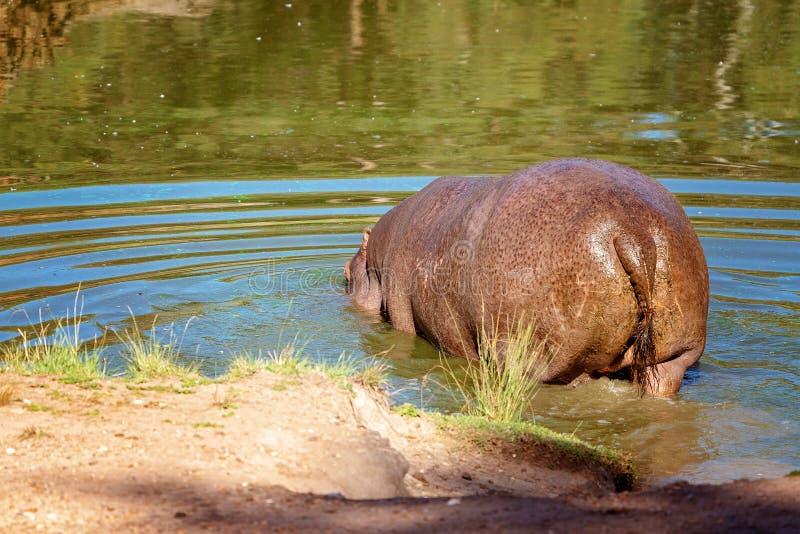 Denvatten- flodhästen som vältra sig i ett träsk arkivfoto