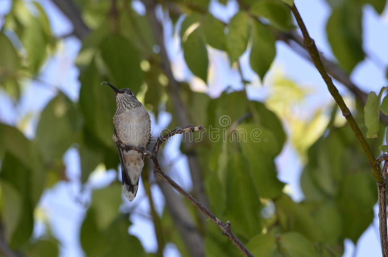 Denver Botanical Gardens: Humming Bird Sticking out its Tongue royalty free stock image