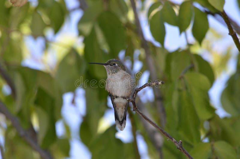 Denver Botanical Gardens : Oiseau de ronflement au repos image libre de droits