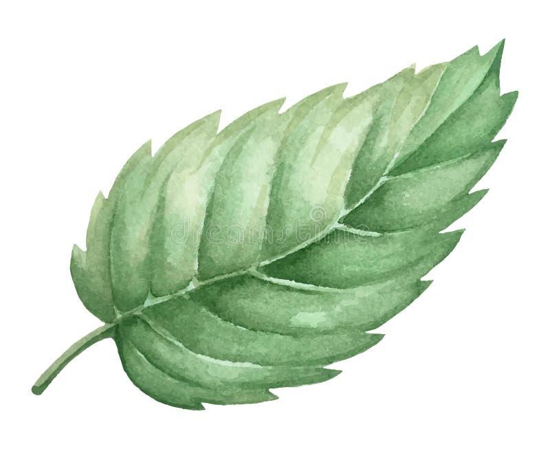 Deocration isolado da folha da planta verde da aquarela ilustração stock