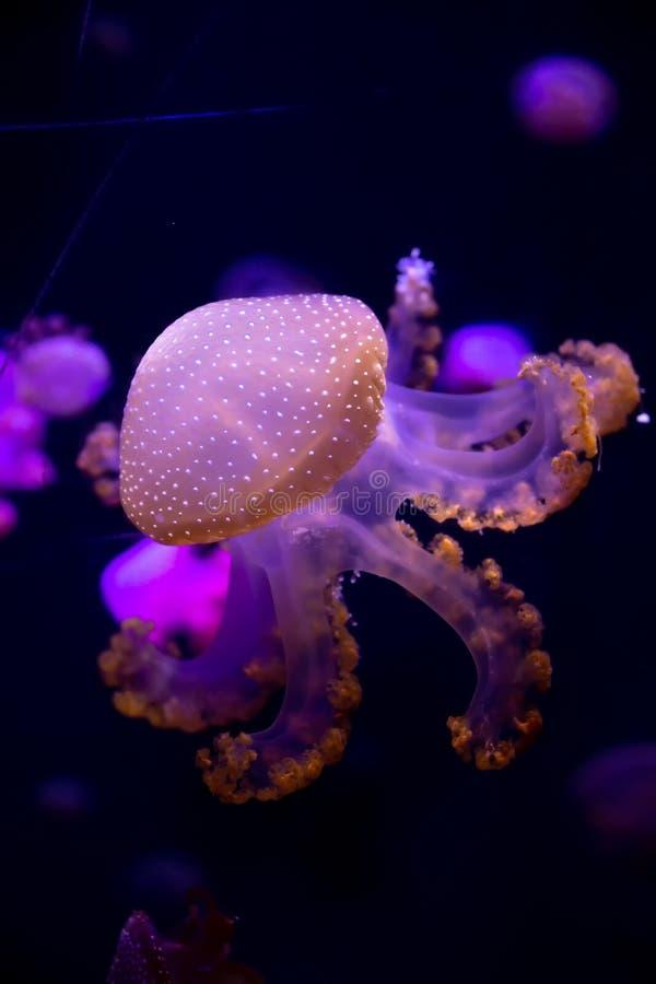 Depósito de pescado con luz de neón La medusa es un coelentate marino libre con una campana de gelatina o foto de archivo libre de regalías