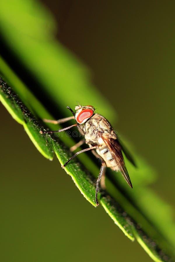 Depredador de la mosca