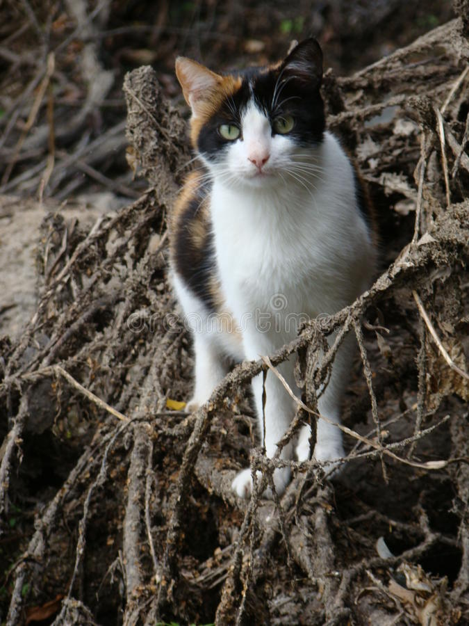 Depredador del gato de casa fotos de archivo libres de regalías