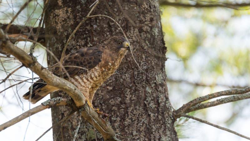Depredador, el halcón de la Rojo-cola aterriza en rama, come una rana fotos de archivo libres de regalías