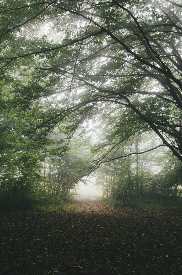 Depressione misteriosa del percorso la nebbia in foresta fotografia stock
