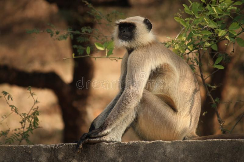 Depth of Field of Gray Langur Sitting on Gray Concrete Surface Near Green Leaf Plant stock photo