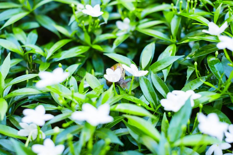 \'Depth of field shot, Animal snail with brown shell climbing and looking for food to eat on flower\'s leafs in the nature. I. \'Depth of field shot, Animal royalty free stock photo