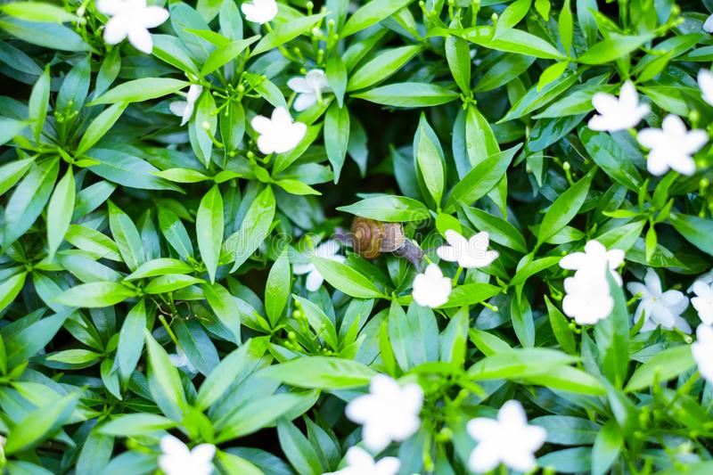 \'Depth of field shot, Animal snail with brown shell climbing and looking for food to eat on flower\'s leafs in the nature. I. \'Depth of field shot, Animal royalty free stock photos