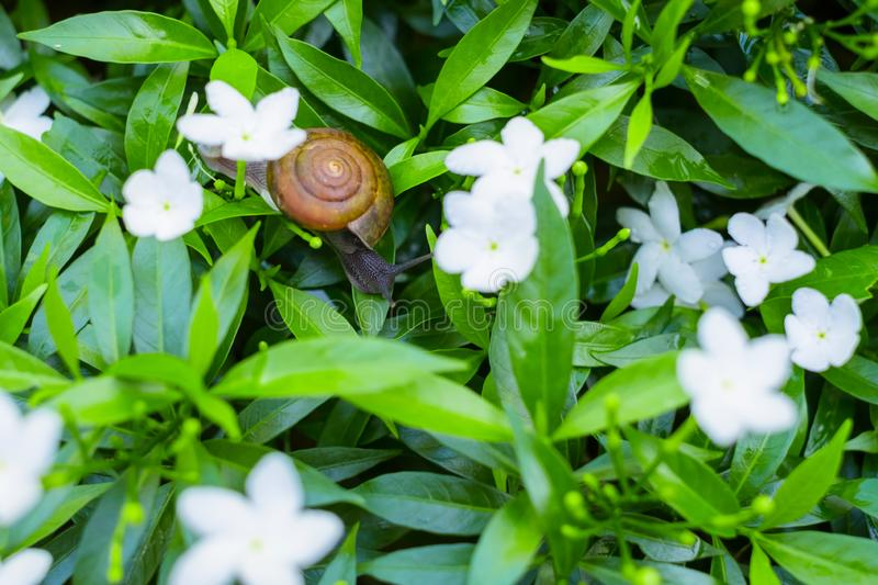 \'Depth of field shot, Animal snail with brown shell climbing and looking for food to eat on flower\'s leafs in the nature. I. \'Depth of field shot, Animal stock image