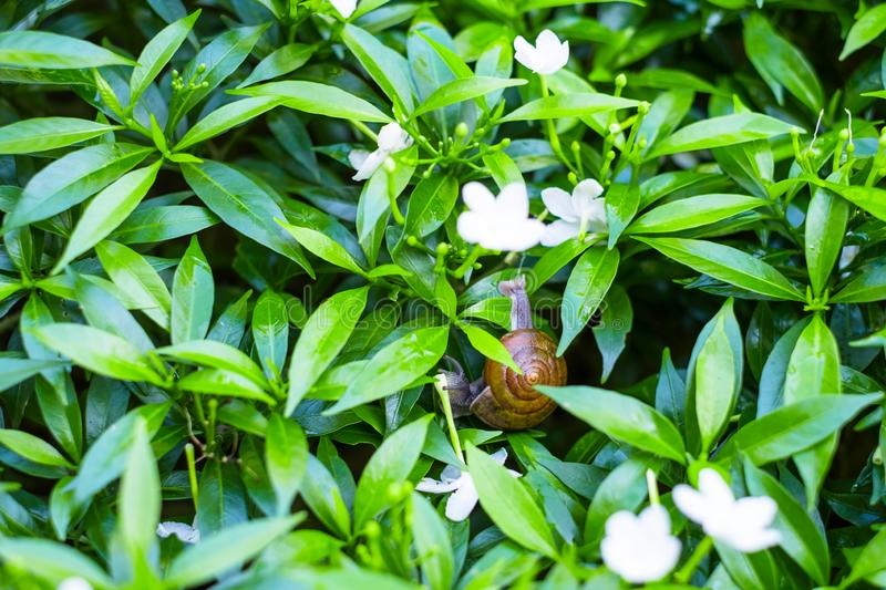 \'Depth of field shot, Animal snail with brown shell climbing and looking for food to eat on flower\'s leafs in the nature. I. \'Depth of field shot, Animal stock photo